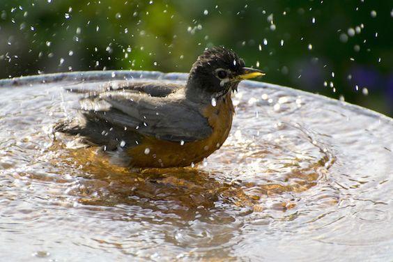 A robin bathes in a bird bath. (C) Jarruda/canstockphoto.com