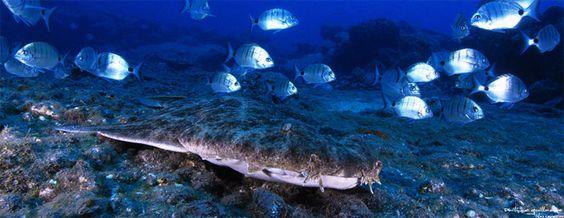 Ange de mer commun ou requin ange