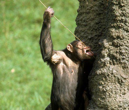 Chimpanzee resources his termite tucker using his fork.