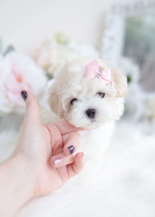 Maltipoo Puppy For Teacup Puppies