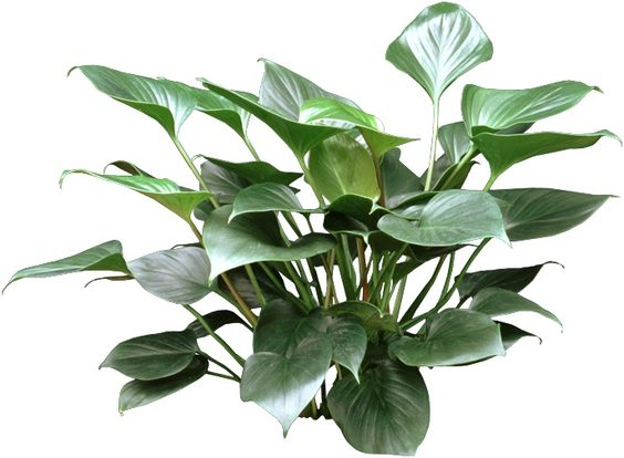 Emerald Gem Is A Unique Upright Houseplant With Dark