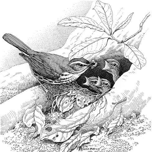 Diane Pierce - Parrot Drawing Pencil Art