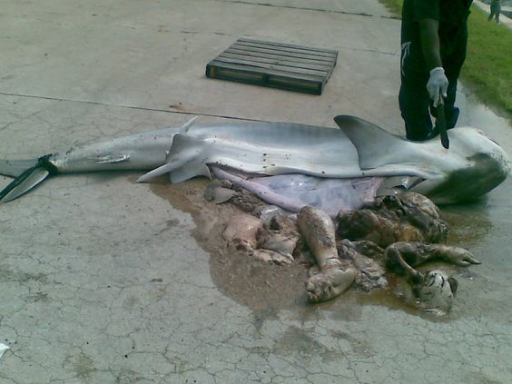 """Man found inside shark  """"The body is understood to be that of a missing sailor. The news reports are obviously about the shark being found to have a man inside it's stomach, rather than the death of a poor individual. I presuming the sailor drowned at sea and was found by the hungry shark."""""""