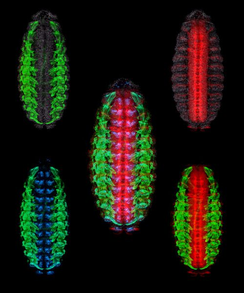 Biology paper about.....Drosophila melanogaster.....importance in genetics and evolution?