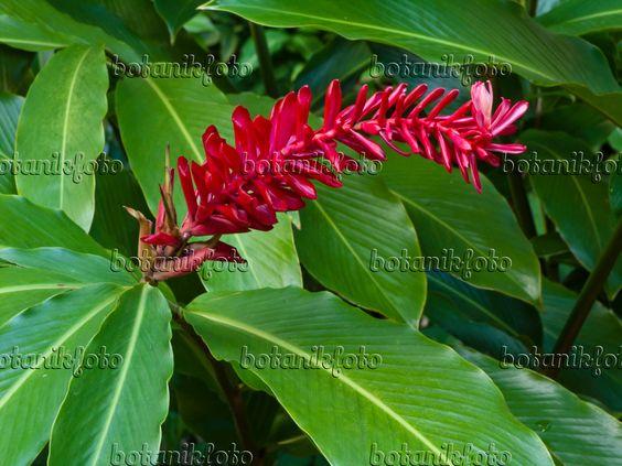 434099 - Scharlachroter Ingwer (Alpinia purpurata)