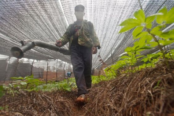 Une enquête internationale de Greenpeace révèle la présence de résidus de pesticides dans la quasi-totalité des herbes chinoises achetées chez nous, mais aussi aux États-Unis, au Royaume-Uni, en France, en Allemagne, en Italie et aux Pays-Bas