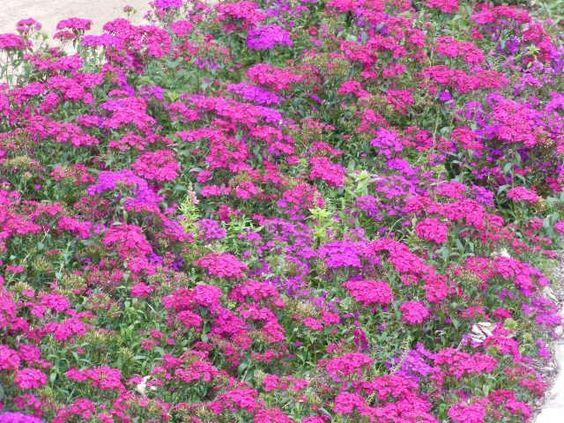 Alfombra de flores del Jardín Botánico de San Antonio. Tx