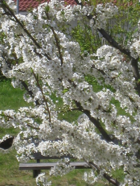 Luumupuu Pietarin lahja kukkii suruvaippa alaoksallaan vasemmalla