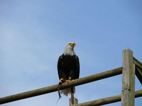 Zoo La Flèche, France - aigle d'amérique