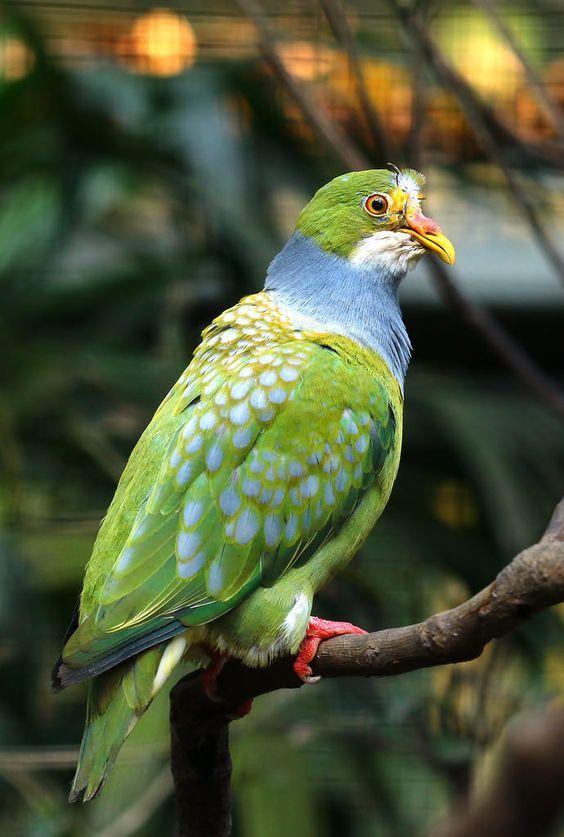 El tilopo frentiáureo (Ptilinopus aurantiifrons) Tiene un tamaño de  22-23 cm;  136 g.  La frente de color naranja brillante o naranja-amarillo;  la garganta y la parte inferior de la cara blanca;  corona, nuca y la parte superior de la cara verde. Parte superior del pecho gris azulado.