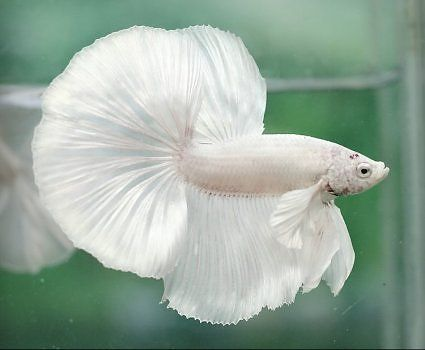 White Mammoth Male Platinum White, Halfmoon | H2O: Betta ...