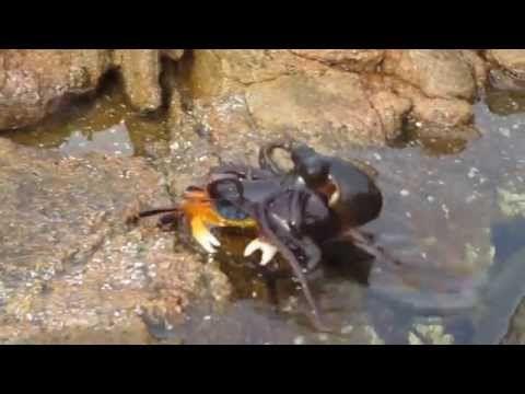 Polvo dá golpe certeiro e captura caranguejo para almoço +http://brml.co/1FLIciq