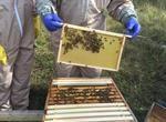 Eurostar honey club harvest first batch of honey from bee hives in Mersham