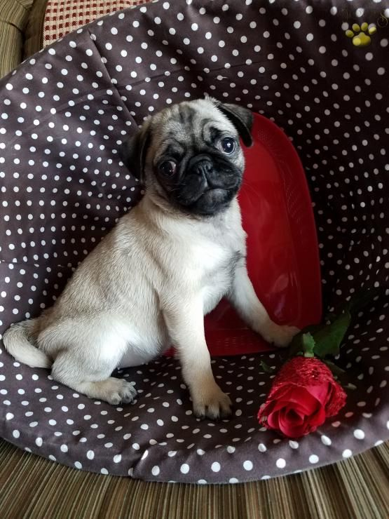 Pugpuppy Pugpuppies Pug Puglife Charming Puppiesofpinterest