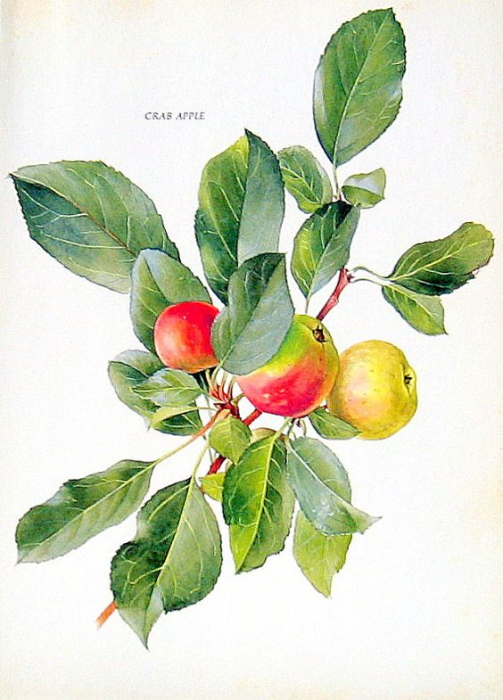 """Crab Apple:  """"Let me bring thee where crabs grow.""""  THE TEMPEST"""