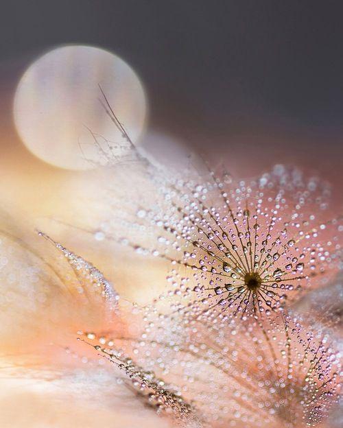 Dew drops on Dandelions?