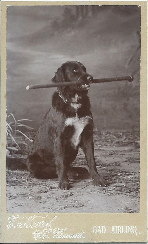 c.1890s cdv of retriever holding a cane in his mouth. Photo taken in Bad Aibling, Bavaria. From bendale collection: