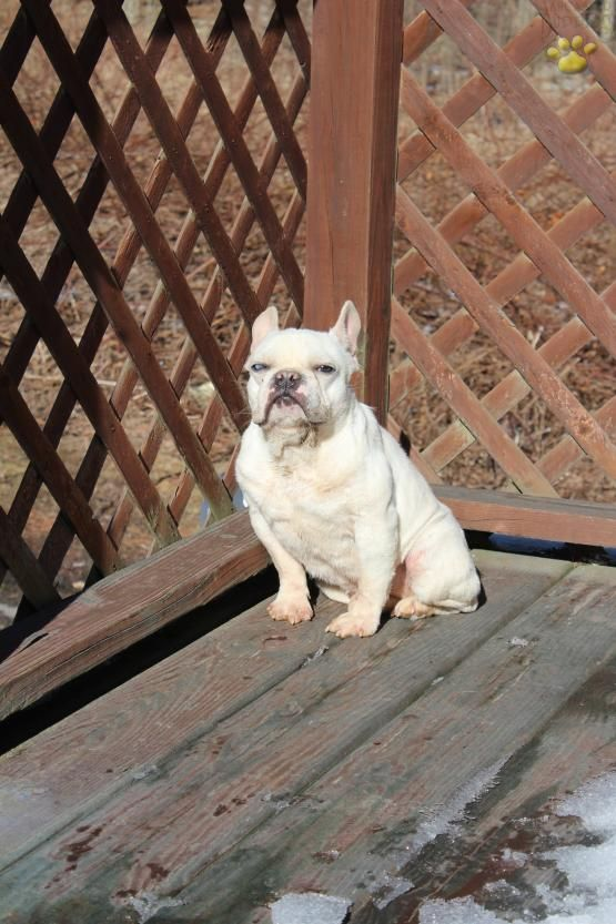 Sunny Girl French Bulldog Puppy For Sale In Wilkes Barre Pa