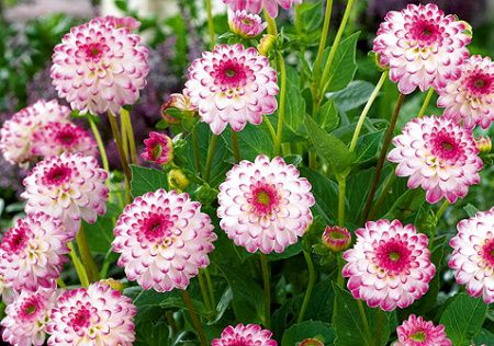 Dahlia - Dahlietta Pink Isa - 60 cm