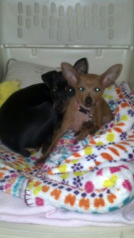 Rayven and Jada, min pin puppies
