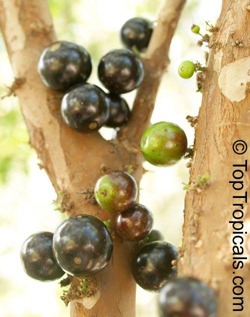 Myrciaria cauliflora - Jaboticaba - Brazilian Grape Tree
