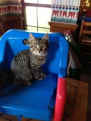 Rex is an adoptable Tabby - Brown Cat in Baton Rouge, LA.  Friendly, fun, playful, and lovable Rex is available for adoption along with his brother Zulu. They are ready to go to their forever home s...