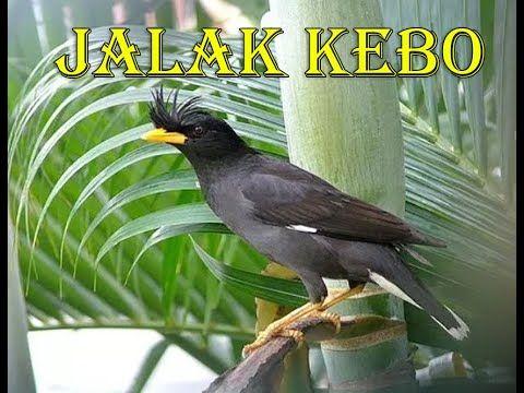 Mengenal Jenis Burung Jalak Kebo Di Indonesia Di 2020 Jalak Burung Jenis
