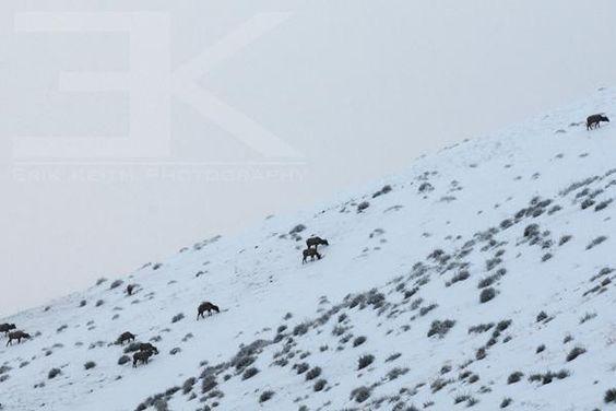 Herd of #Elk grazing near #Morrison #Colorado before sunrise.