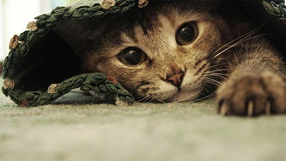 Os gatos são incompreendidos, porque não se dignou a explicar: ele são intrigantes apenas para aqueles que ignoram o poder expressivo do silêncio. Paul Morand