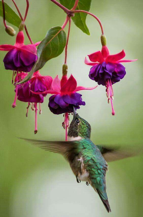 Hummingbird And Fuchsia Hummingbird Pictures Pretty Birds Beautiful Birds