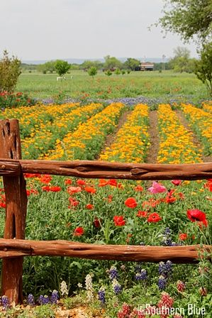 Southern Blue Traveler: WILDSEED FARMS ~ FREDRICKSBURG, TEXAS