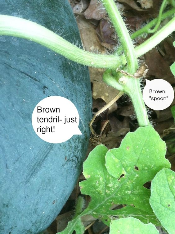 When to pick watermelon || watermelon brown tendril and spoon