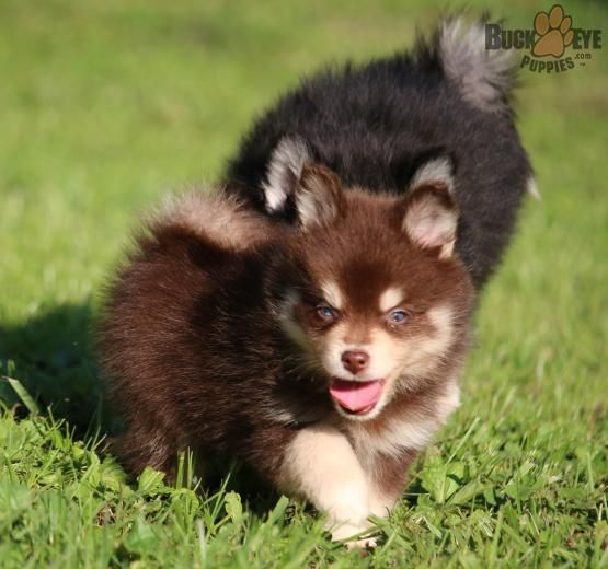 Hank Pomsky Puppy For Sale In Junction City Oh Buckeye Puppies Pomsky Puppies Pomsky Puppies For Sale Puppies