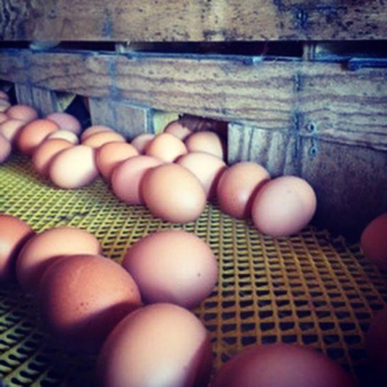 Récolte des œufs BIO à la Ferme du Bois de Boulle, avec l'un de nos producteurs: Gérard Macé, aviculteur et cuniculteur à la Turballe, en presqu'île guérandaise! 🐇🐓