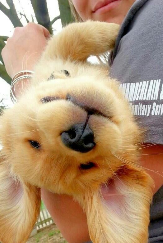 And when this little girl forgot which way to take a selfie. | 23 Times Golden Retriever Puppies Were Huge Dweebs