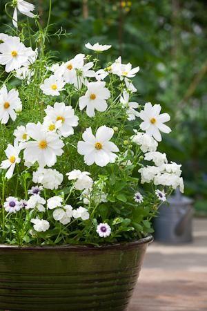 White plants for a container: Cosmos 'Sonata White'; Osteospurmum 'F1 Akila White Purple Eye' & Phlox 21st Century 'White'