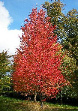 Arce rojo - Acer rubrum