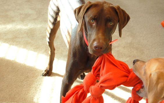 Your pup go through toys like a starving Velociraptor? Here are a few ideas to make some toys out of items you already have around your home!
