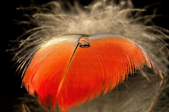 Red Feather Drop by Jason Stainthorpe on 500px