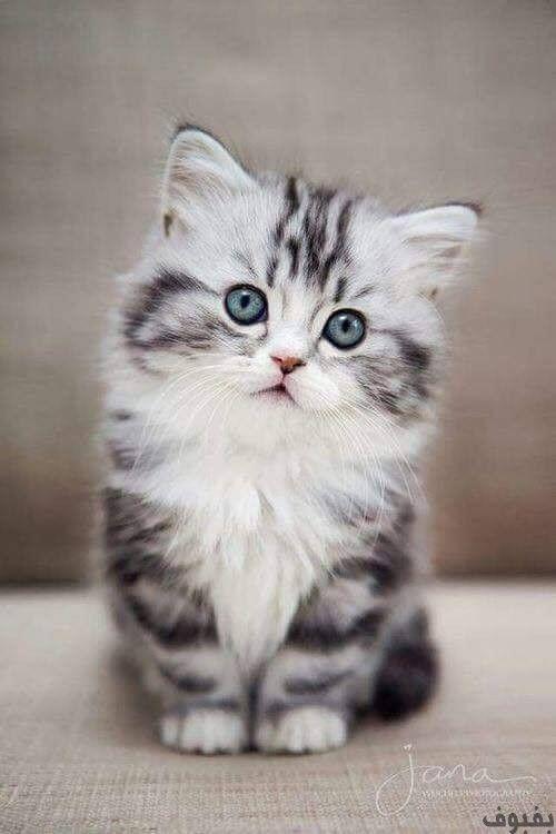 صور قطط صغيرة أجمل صور القطط الصغيرة في غاية الجمال بفبوف Cutest Animals On Earth Kittens Cutest American Bobtail Cat