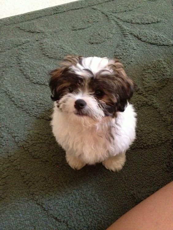 They shrunk my dog! - Havanese Forum : Havanese Forums