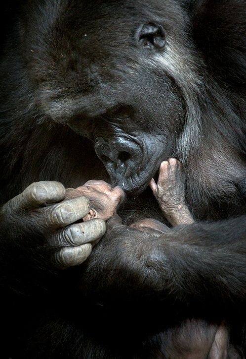 Baby gorilla with mother. So beautiful