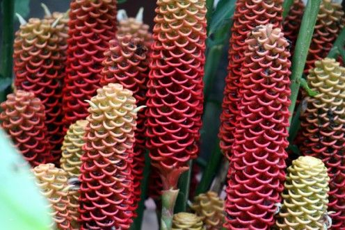 Flowers Of Colombia Ginger Flower Flowers Flower Comb