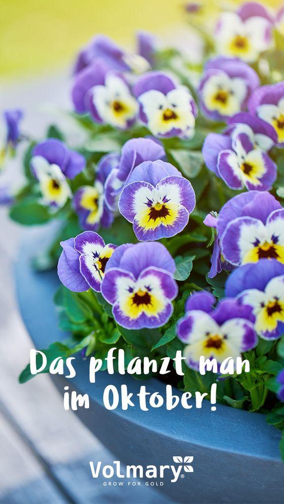 Volmary Pflanzen Online Kaufen Im Volmary Online Shop Winterharte Pflanzen Pflanzen Und Balkon Pflanzen