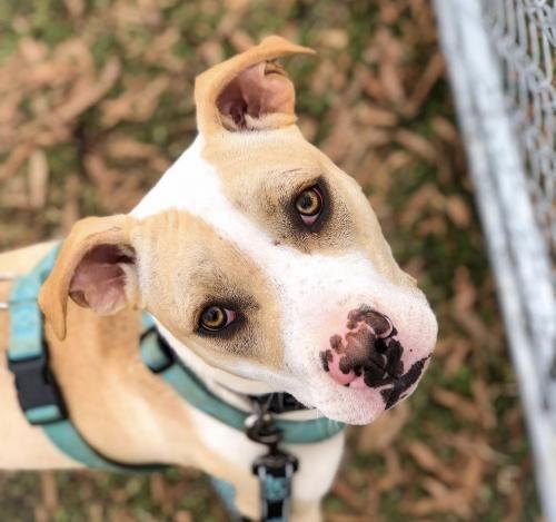 Adopt Reeve On Pitbull Terrier Bull Terrier Dog Pitbulls