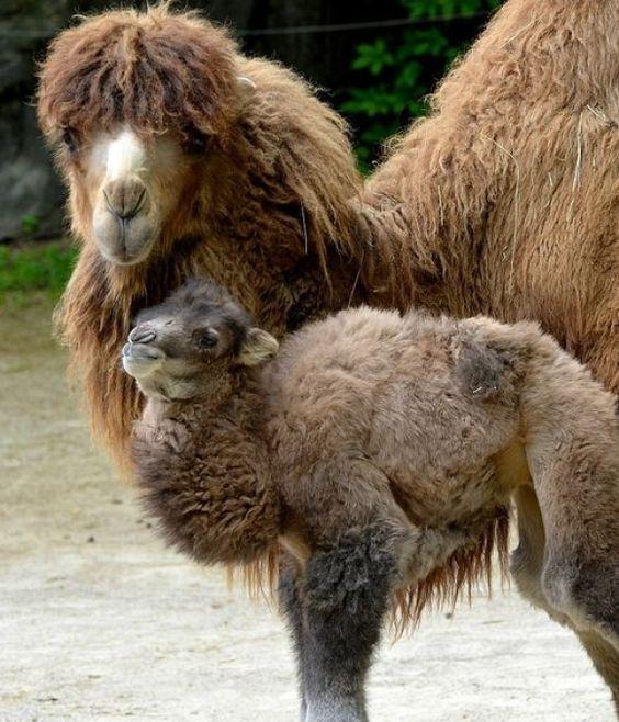 Camelo.