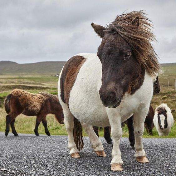 """On a tour of Scotland, @andyhaslamphoto ran into a group of Shetland ponies. Shetland is almost entirely treeless, with a terrain that veers mainly…"""