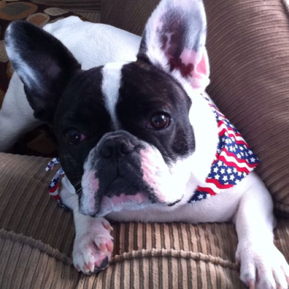 My frenchie Cisco on 4th of July!
