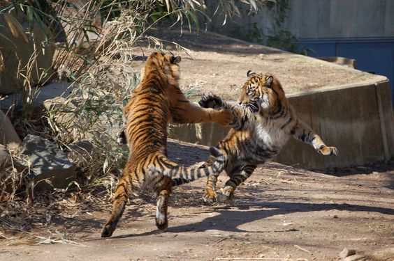 Catfight! (At the National Zoo)