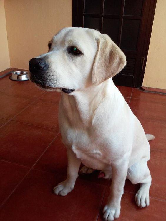 Krusti vive en Tenerife y a simple vista se ve que es un labrador retriever guapo por naturaleza